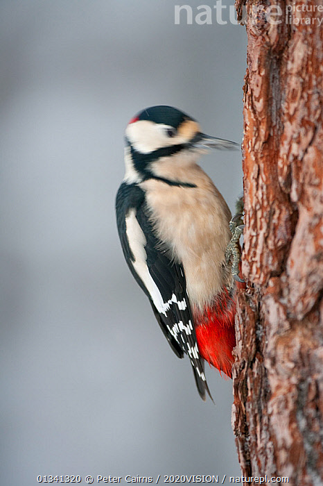 Great-spotted woodpecker (Dendrocopus major) male drumming the trunk of Scots pine tree trunk, Glenfeshie Estate, Cairngorms NP, Highlands, Scotland, UK, January, 2020VISION,BEHAVIOUR,BIRDS,CAIRNGORMS,CALEDONIAN PINEWOODS,CONIFEROUS,EUROPE,FEEDING,FORESTS,MALE,MALES,NATIONAL,PARK,PCA_14_111110_50,PICIIDAE,SCOTLAND,TREES,TRUNKS,UK,VERTEBRATES,VERTICAL,WINTER,WOODLANDS,WOODPECKERS,PLANTS,United Kingdom, Peter Cairns / 2020VISION