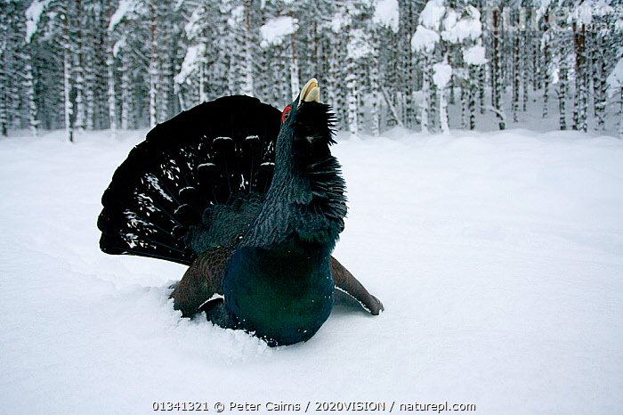 Capercaillie (Tetrao urogallus) male displaying in pine forest in snow, Cairngorms NP, Highlands, Scotland, UK, January, 2020VISION,BIRDS,CALEDONIAN PINEWOODS,COCK,CONIFEROUS,COURTSHIP,DISPLAY,ENGLAND,EUROPE,FORESTS,GALLIFORMES,GAME BIRDS,GROUSE,MALE,MALES,MATING BEHAVIOUR,PCA_14_111110_53,PHASIANIDAE,PINE,SCOTLAND,SNOW,TREES,UK,VERTEBRATES,VOCALISATION,WILDLIFE,WINTER,WOODLANDS,Communication,PLANTS,United Kingdom, Peter Cairns / 2020VISION