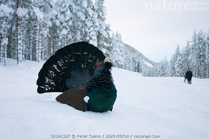 Capercaillie (Tetrao urogallus) male displaying in pine forest in snow, photographer in background, Cairngorms NP, Highlands, Scotland, UK, January, 2020VISION,BIRDS,CALEDONIAN PINEWOODS,COCK,CONIFEROUS,COURTSHIP,DISPLAY,ENGLAND,EUROPE,FORESTS,GALLIFORMES,GAME BIRDS,GROUSE,LANDSCAPES,MALE,MALES,MATING BEHAVIOUR,OUTDOORS,PCA_14_111110_60,PEOPLE,PHASIANIDAE,PHOTOGRAPHY,PINE,SCOTLAND,SNOW,TREES,UK,VERTEBRATES,VOCALISATION,WILDLIFE,WINTER,WOODLANDS,Communication,PLANTS,United Kingdom, Peter Cairns / 2020VISION