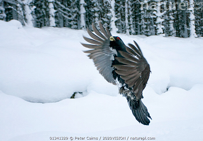 Capercaillie (Tetrao urogallus) male displaying, taking off from snow in pine forest, Cairngorms NP, Highlands, Scotland, UK, January, 2020VISION,BEHAVIOUR,BIRDS,CALEDONIAN PINEWOODS,COCK,CONIFEROUS,COURTSHIP,DISPLAY,ENGLAND,EUROPE,FEATHERS,FLYING,FORESTS,GALLIFORMES,GAME BIRDS,GROUSE,JUMPING,MALE,MALES,PCA_14_111110_62,PHASIANIDAE,PINE,SCOTLAND,SNOW,TREES,UK,VERTEBRATES,VERTICAL,VOCALISATION,WILDLIFE,WINGS,WINTER,WOODLANDS,Communication,PLANTS,United Kingdom, Peter Cairns / 2020VISION