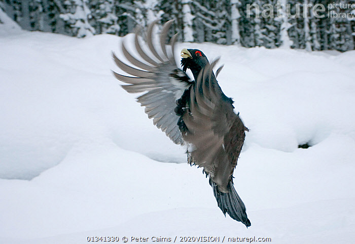 Capercaillie (Tetrao urogallus) male displaying, taking off from snow in pine forest, Cairngorms NP, Highlands, Scotland, UK, January, 2020VISION,BEHAVIOUR,BIRDS,CALEDONIAN PINEWOODS,COCK,CONIFEROUS,COURTSHIP,DISPLAY,ENGLAND,EUROPE,FEATHERS,FLYING,FORESTS,GALLIFORMES,GAME BIRDS,GROUSE,JUMPING,MALE,MALES,MATING BEHAVIOUR,PCA_14_111110_63,PHASIANIDAE,PINE,SCOTLAND,SNOW,TREES,UK,VERTEBRATES,VERTICAL,VOCALISATION,WILDLIFE,WINGS,WINTER,WOODLANDS,Communication,PLANTS,United Kingdom, Peter Cairns / 2020VISION