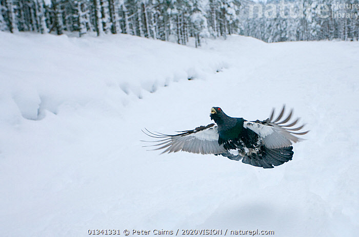 Capercaillie (Tetrao urogallus) male displaying, flying over snow in pine forest, Cairngorms NP, Highlands, Scotland, UK, January, 2020VISION,BEHAVIOUR,BIRDS,CALEDONIAN PINEWOODS,COCK,CONIFEROUS,COURTSHIP,DISPLAY,ENGLAND,EUROPE,FLYING,FORESTS,GALLIFORMES,GAME BIRDS,GROUSE,MALE,MALES,PCA_14_111110_64,PHASIANIDAE,PINE,SCOTLAND,SNOW,TREES,UK,VERTEBRATES,VOCALISATION,WILDLIFE,WINTER,WOODLANDS,Communication,PLANTS,United Kingdom, Peter Cairns / 2020VISION