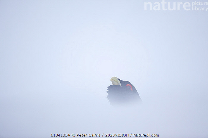 Capercaillie (Tetrao urogallus) head of male displaying in snow, Cairngorms NP, Highlands, Scotland, UK, January, 2020VISION,BIRDS,CALEDONIAN PINEWOODS,COCK,CONIFEROUS,COPYSPACE,COURTSHIP,DISPLAY,ENGLAND,EUROPE,FORESTS,GALLIFORMES,GAME BIRDS,GROUSE,MALE,MALES,MATING BEHAVIOUR,PCA_14_111110_67,PHASIANIDAE,SCOTLAND,SNOW,UK,VERTEBRATES,VOCALISATION,WILDLIFE,WINTER,Communication,United Kingdom, Peter Cairns / 2020VISION