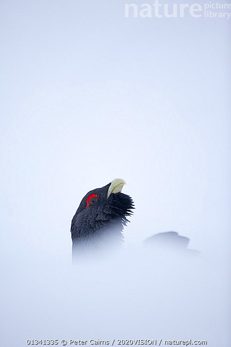 Capercaillie (Tetrao urogallus) head of male displaying in snow, Cairngorms NP, Highlands, Scotland, UK, January, 2020VISION,BIRDS,CALEDONIAN PINEWOODS,COCK,CONIFEROUS,COURTSHIP,DISPLAY,ENGLAND,EUROPE,FORESTS,GALLIFORMES,GAME BIRDS,GROUSE,MALE,MALES,MATING BEHAVIOUR,PCA_14_111110_68,PHASIANIDAE,SCOTLAND,SNOW,UK,VERTEBRATES,VERTICAL,VOCALISATION,WILDLIFE,WINTER,Communication,United Kingdom, Peter Cairns / 2020VISION