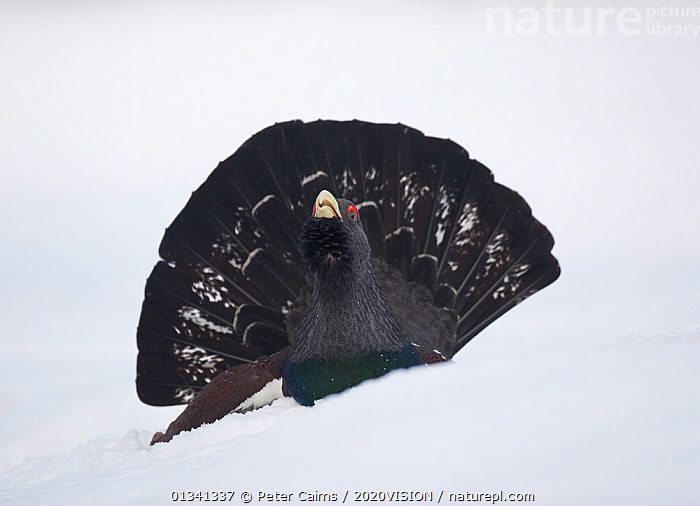 Capercaillie (Tetrao urogallus) male displaying in snow in pine forest, Cairngorms NP, Highlands, Scotland, UK, January, 2020VISION,BIRDS,CALEDONIAN PINEWOODS,COCK,CONIFEROUS,COURTSHIP,DISPLAY,ENGLAND,EUROPE,FEATHERS,FORESTS,GALLIFORMES,GAME BIRDS,GROUSE,MALE,MALES,MATING BEHAVIOUR,PCA_14_111110_70,PHASIANIDAE,SCOTLAND,SNOW,TAILS,UK,VERTEBRATES,VOCALISATION,WILDLIFE,WINTER,Communication,United Kingdom, Peter Cairns / 2020VISION