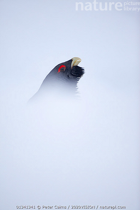 Capercaillie (Tetrao urogallus) head of male displaying in snow in pine forest, Cairngorms NP, Highlands, Scotland, UK, January, 2020VISION,BIRDS,CALEDONIAN PINEWOODS,COCK,CONIFEROUS,COURTSHIP,DISPLAY,ENGLAND,EUROPE,FORESTS,GALLIFORMES,GAME BIRDS,GROUSE,MALE,MALES,MATING BEHAVIOUR,PCA_14_111110_74,PHASIANIDAE,SCOTLAND,SNOW,UK,VERTEBRATES,VERTICAL,VOCALISATION,WILDLIFE,WINTER,Communication,United Kingdom, Peter Cairns / 2020VISION