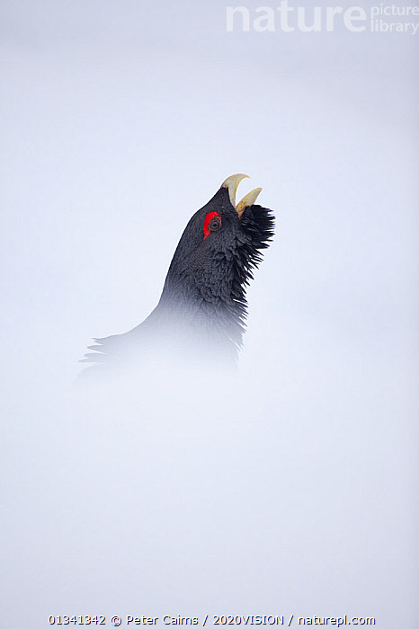 Capercaillie (Tetrao urogallus) head of male displaying in snow in pine forest, Cairngorms NP, Highlands, Scotland, UK, January, 2020VISION,BIRDS,CALEDONIAN PINEWOODS,COCK,CONIFEROUS,COURTSHIP,DISPLAY,ENGLAND,EUROPE,FORESTS,GALLIFORMES,GAME BIRDS,GROUSE,MALE,MALES,MATING BEHAVIOUR,PCA_14_111110_75,PHASIANIDAE,PINE,SCOTLAND,SNOW,UK,VERTEBRATES,VERTICAL,VOCALISATION,WILDLIFE,WINTER,Communication,United Kingdom, Peter Cairns / 2020VISION