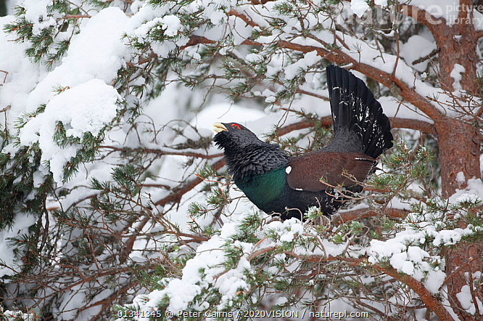 Capercaillie (Tetrao urogallus) male displaying in pine tree in snow, Cairngorms NP, Highlands, Scotland, UK, January, 2020VISION,BIRDS,CALEDONIAN PINEWOODS,COCK,CONIFEROUS,COURTSHIP,DISPLAY,ENGLAND,EUROPE,FORESTS,GALLIFORMES,GAME BIRDS,GROUSE,MALE,MALES,MATING BEHAVIOUR,PCA_14_111110_78,PHASIANIDAE,PINE,SCOTLAND,SNOW,TREES,UK,VERTEBRATES,VOCALISATION,WILDLIFE,WINTER,WOODLANDS,Communication,PLANTS,United Kingdom, Peter Cairns / 2020VISION