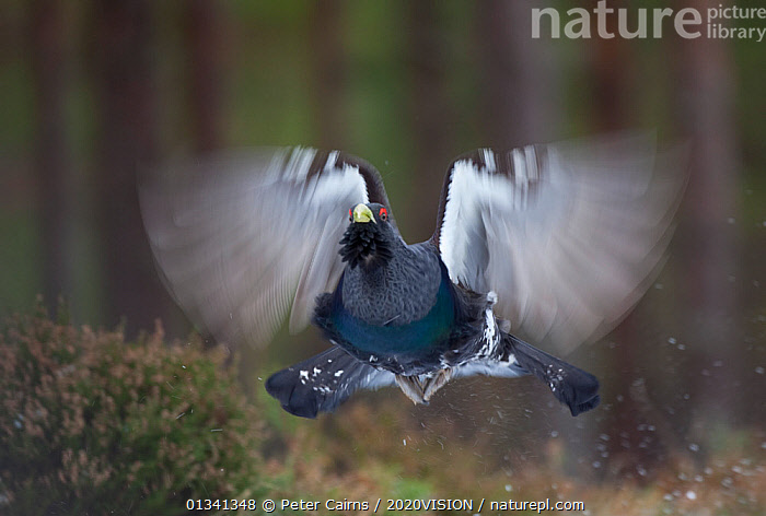 Capercaillie (Tetrao urogallus) male flying through pine forest, Cairngorms NP, Highlands, Scotland, UK, February. 2020VISION Book Plate., 2020VISION,2020vision book plate,ACTION,AGGRESSION,BEHAVIOUR,BIRDS,Blurred,cairngorms,caledonian pinewoods,CONIFEROUS,DISPLAY,ENGLAND,EUROPE,Flapping,FLYING,FORESTS,GALLIFORMES,GAME BIRDS,GROUSE,pca_14_121110_04,Phasianidae,SCOTLAND,UK,VERTEBRATES,Communication,United Kingdom, Peter Cairns / 2020VISION