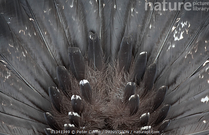 Capercaillie (Tetrao urogallus) rear view close up of tail feathers of male displaying, Cairngorms NP, Highlands, Scotland, UK, February, 2020VISION,BEHAVIOUR,BIRDS,BLACK,BOTTOMS,CAIRNGORMS,CALEDONIAN PINEWOODS,CONIFEROUS,DISPLAY,ENGLAND,EUROPE,FEATHERS,FORESTS,GALLIFORMES,GAME BIRDS,GROUSE,PATTERNS,PCA_14_121110_07,PHASIANIDAE,SCOTLAND,UK,VERTEBRATES,Communication,United Kingdom, Peter Cairns / 2020VISION