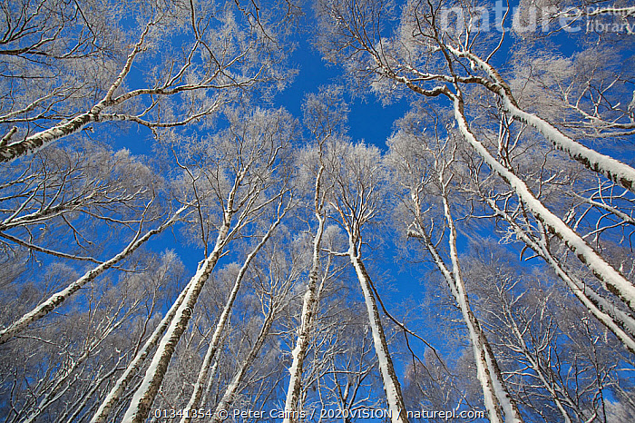 "View up through canopy of Silver birches (Betula pendula) in winter, Insh Marshes, Cairngorms NP, Highlands, Scotland, UK, December. Photographer quote: ""Fingers and toes might protest at -15c, but on a blue sky January day like this, I�m like a kid in a sweetshop. Shooting up through the canopy, the icing-sugared birches are etched against a vivid blue sky."" Did you know? Birches are valuable recyclers of nutrients. Each year birch trees can produce between 3 and 4 tonnes of leaf litter per hectare., PICDAY,2020VISION,ARTY SHOTS,BETULACEAE,BLUE,CAIRNGORMS,DICOTYLEDONS,EUROPE,FORESTS,LOW ANGLE,NATIONAL,PARK,PCA_14_121210,PLANTS,RESERVE,RSPB,SCOTLAND,TREES,TRUNKS,UK,WHITE,WINTER,United Kingdom, Peter Cairns / 2020VISION"