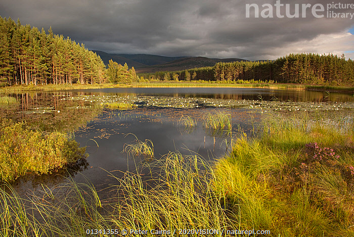 Stormy light over bog, Glenfeshie, Cairngorms NP, Highlands, Scotland, UK, August 2010, 2020VISION,ATMOSPHERIC,BOGS,CALEDONIAN PINEWOODS,CLOUDS,EUROPE,FORESTS,HABITAT,LAKES,LANDSCAPES,NP,PCA_14_281210_10,REEDS,RESERVE,SCOTLAND,STORMS,SUMMER,TREES,UK,WATER,WETLANDS,Weather,National Park,PLANTS,United Kingdom, Peter Cairns / 2020VISION