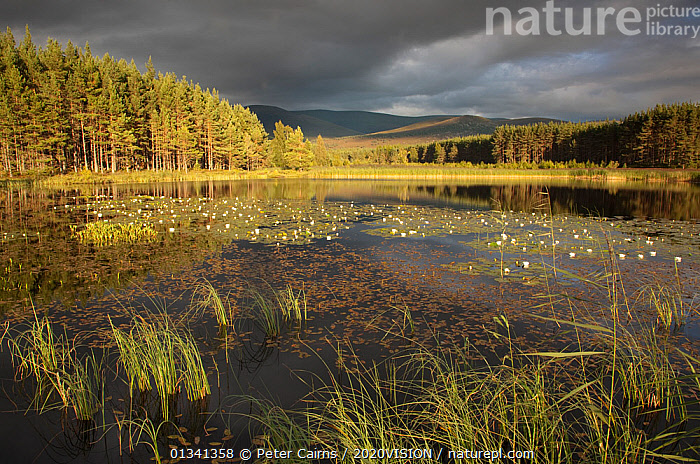 Stormy light over bog, Glenfeshie, Cairngorms NP, Highlands, Scotland, UK, August 2010, 2020VISION,ATMOSPHERIC,BOGS,CALEDONIAN PINEWOODS,CLOUDS,EUROPE,FORESTS,HABITAT,LAKES,LANDSCAPES,NP,PCA_14_281210_21,REEDS,RESERVE,SCOTLAND,SUMMER,TREES,UK,WATER,WETLANDS,Weather,National Park,PLANTS,United Kingdom, Peter Cairns / 2020VISION