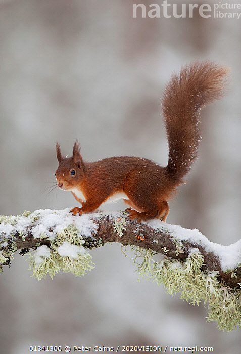Red squirrel (Sciurus vulgaris) on snow-covered branch in pine forest, Cairngorms NP, Highlands, Scotland, UK, December, 2020VISION,CALEDONIAN PINEWOODS,EUROPE,FORESTS,MAMMALS,PCA_14_281210_39,PINE,RODENTS,SCIURIDAE,SCOTLAND,SNOW,SQUIRRELS,TREES,UK,VERTEBRATES,VERTICAL,WILDLIFE,WINTER,PLANTS,United Kingdom,2020cc, Peter Cairns / 2020VISION