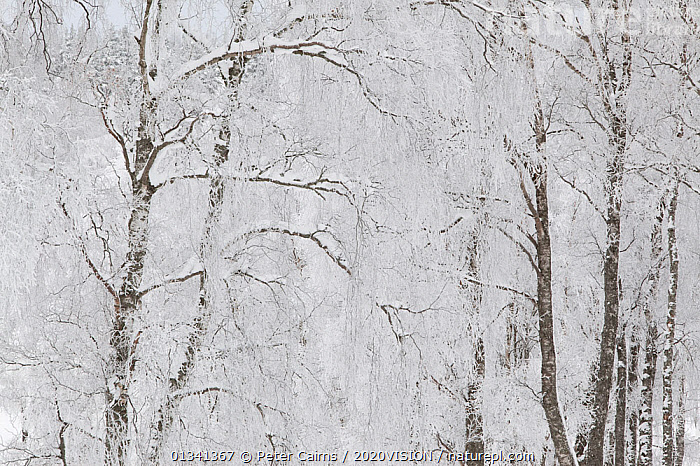 Silver birch trees (Betula pendula) covered in hoar frost in winter, Glenfeshie, Cairngorms NP, Highlands, Scotland, UK, December, 2020VISION,BETULACEAE,BROADLEAF,CAIRNGORMS,CALEDONIAN PINEWOODS,DECIDUOUS,DICOTYLEDONS,EUROPE,FORESTS,FROST,NATIONAL,PARK,PCA_14_281210_40,PLANTS,SCOTLAND,TREES,UK,WHITE,WINTER,Weather,United Kingdom, Peter Cairns / 2020VISION
