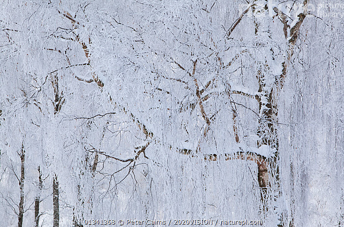 Silver birch trees (Betula pendula) covered in hoar frost in winter, Glenfeshie, Cairngorms NP, Highlands, Scotland, UK, December, 2020VISION,ARTY SHOTS,BETULACEAE,BROADLEAF,CAIRNGORMS,CALEDONIAN PINEWOODS,DECIDUOUS,DICOTYLEDONS,EUROPE,FORESTS,FROST,NATIONAL,PARK,PCA_14_281210_42,PLANTS,SCOTLAND,TREES,UK,WHITE,WINTER,Weather,United Kingdom, Peter Cairns / 2020VISION