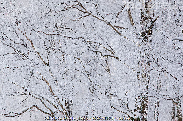 Silver birch trees (Betula pendula) covered in hoar frost in winter, Glenfeshie, Cairngorms NP, Highlands, Scotland, UK, December, 2020VISION,ARTY SHOTS,BETULACEAE,BRANCHES,BROADLEAF,CAIRNGORMS,CALEDONIAN PINEWOODS,DECIDUOUS,DICOTYLEDONS,EUROPE,FORESTS,FROST,NATIONAL,PARK,PCA_14_281210_43,PLANTS,SCOTLAND,TREES,UK,WINTER,Weather,United Kingdom, Peter Cairns / 2020VISION