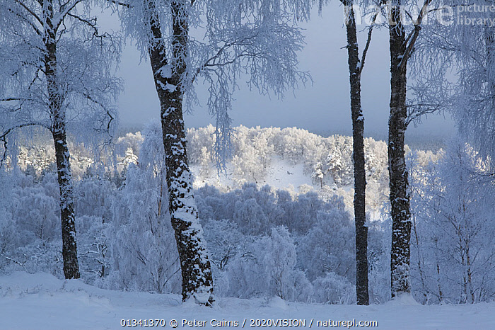 Silver birch trees (Betula pendula) in woodland covered in hoar frost, winter, Glenfeshie, Cairngorms NP, Highlands, Scotland, UK, December, 2020VISION,BETULACEAE,BROADLEAF,CAIRNGORMS,CALEDONIAN PINEWOODS,DECIDUOUS,DICOTYLEDONS,EUROPE,FORESTS,FROST,HABITAT,LANDSCAPES,NATIONAL,PARK,PCA_14_281210_44,PLANTS,SCOTLAND,TREES,TRUNKS,UK,WHITE,WINTER,WOODLANDS,Weather,United Kingdom, Peter Cairns / 2020VISION