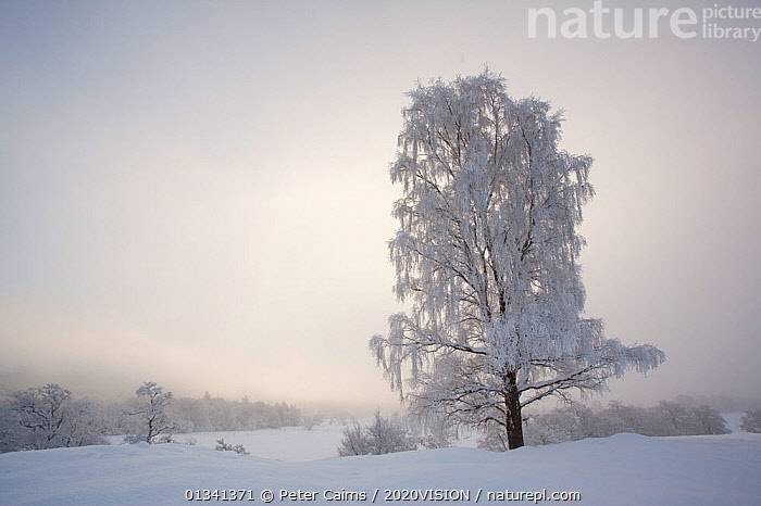 Silver birch tree (Betula pendula) covered in hoar frost in winter, Glenfeshie, Cairngorms NP, Highlands, Scotland, UK, December, 2020VISION,BROADLEAF,CAIRNGORMS,CALEDONIAN PINEWOODS,DECIDUOUS,EUROPE,FORESTS,FROST,LANDSCAPES,NATIONAL,PARK,PCA_14_281210_45,SCOTLAND,TREES,UK,VERTICAL,WHITE,WINTER,Weather,PLANTS,United Kingdom, Peter Cairns / 2020VISION