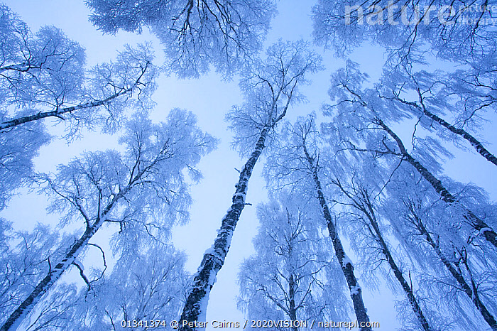 View up through the canopy of Silver birch trees (Betula pendula) covered in hoar frost in winter, Glenfeshie, Cairngorms NP, Highlands, Scotland, UK, December, 2020VISION,ARTY SHOTS,BROADLEAF,CAIRNGORMS,CALEDONIAN PINEWOODS,DECIDUOUS,EUROPE,FORESTS,FROST,LOW ANGLE SHOT,NATIONAL,PARK,PCA_14_281210_53,SCOTLAND,TREES,TRUNKS,UK,WHITE,WINTER,Weather,PLANTS,United Kingdom, Peter Cairns / 2020VISION