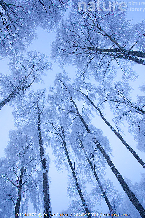 View up through the canopy of Silver birch trees (Betula pendula) covered in hoar frost in winter, Glenfeshie, Cairngorms NP, Highlands, Scotland, UK, December, 2020VISION,ARTY SHOTS,BROADLEAF,CAIRNGORMS,CALEDONIAN PINEWOODS,DECIDUOUS,EUROPE,FORESTS,FROST,LOW ANGLE SHOT,NATIONAL,PARK,PATTERNS,PCA_14_281210_54,SCOTLAND,TREES,TRUNKS,UK,VERTICAL,WHITE,WINTER,Weather,PLANTS,United Kingdom, Peter Cairns / 2020VISION