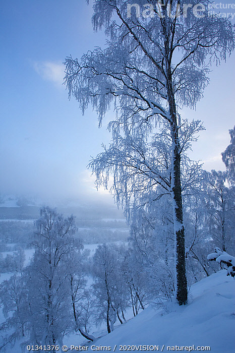 Silver birch tree (Betula pendula) covered in hoar frost in winter landscape, Glenfeshie, Cairngorms NP, Highlands, Scotland, UK, December 2010, 2020VISION,BROADLEAF,CAIRNGORMS,CALEDONIAN PINEWOODS,DECIDUOUS,EUROPE,FORESTS,FROST,LANDSCAPES,NATIONAL,PARK,PCA_14_281210_55,SCOTLAND,SNOW,TREES,UK,VERTICAL,WHITE,WINTER,Weather,PLANTS,United Kingdom, Peter Cairns / 2020VISION