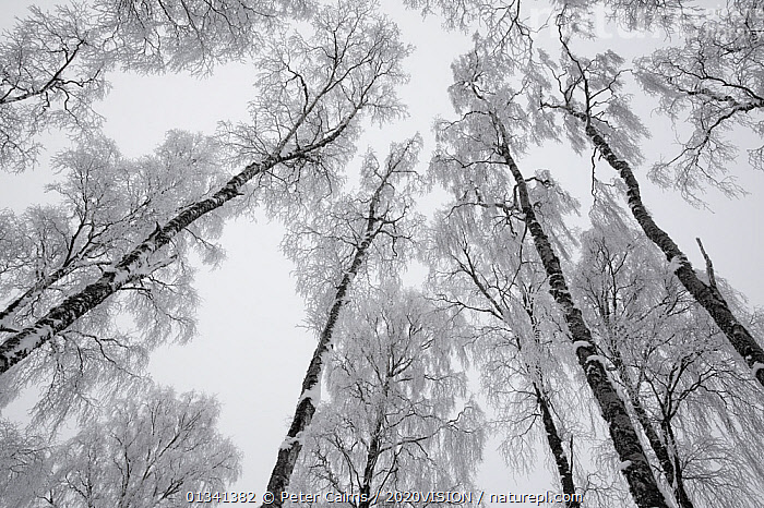 View up through the canopy of Silver birch trees (Betula pendula) covered in hoar frost in winter, Glenfeshie, Cairngorms NP, Highlands, Scotland, UK, December, 2020VISION,ARTY SHOTS,BETULACEAE,BROADLEAF,CAIRNGORMS,CALEDONIAN PINEWOODS,DECIDUOUS,DICOTYLEDONS,EUROPE,FORESTS,FROST,LOW ANGLE SHOT,NATIONAL,PARK,PCA_14_281210_61,PLANTS,SCOTLAND,TREES,TRUNKS,UK,WHITE,WINTER,Weather,United Kingdom, Peter Cairns / 2020VISION