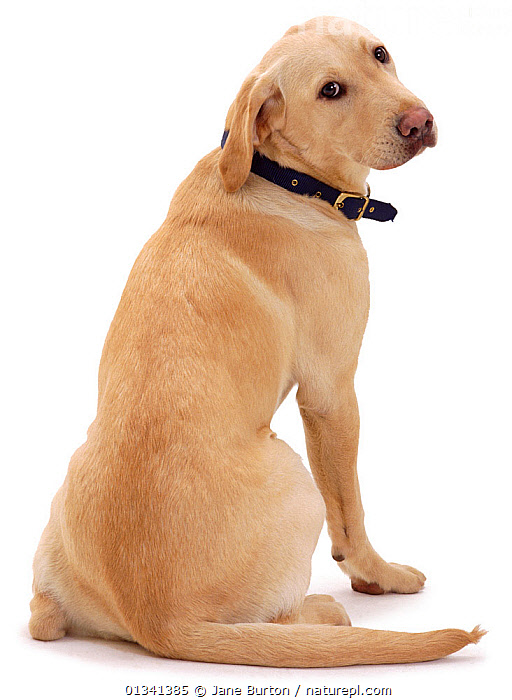 Yellow Labrador retriever bitch, 1 year, sitting rear view, looking back over shoulder., BOTTOMS,CANIDS,CUTE,CUTOUT,DOGS,FEMALES,GUNDOGS,LARGE DOGS,LOOKING AT CAMERA,PETS,PORTRAITS,REAR VIEW,SITTING,STUDIO,VERTEBRATES,VERTICAL,WHITE, Jane Burton