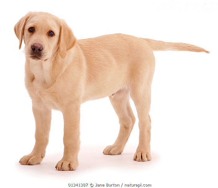 Yellow Labrador Retriever puppy, 12 weeks, standing., BABIES,CANIDS,CUTE,CUTOUT,DOGS,GUNDOGS,LARGE DOGS,LOOKING AT CAMERA,PETS,PORTRAITS,PUPPIES,PUPPY,STUDIO,VERTEBRATES,WHITE,YOUNG,,Cutout,White background,, Jane Burton