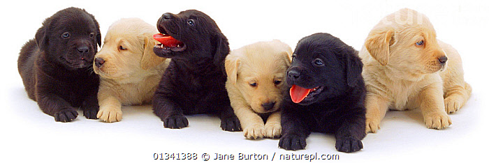 Three Black and three Yellow Labrador puppies in a row., BABIES,BLACK AND WHITE,CANIDS,COLOUR COORDINATED,CUTE,CUTOUT,DOGS,FAMILIES,GROUPS,GUNDOGS,LARGE DOGS,LINE,LYING,PETS,PORTRAITS,PUPPIES,PUPPY,SITTING,SIX,STUDIO,TONGUES,VERTEBRATES,WHITE,YOUNG,,Cutout,White background,, Jane Burton
