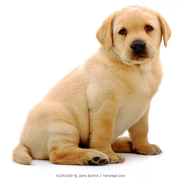 Yellow Labrador Retriever puppy sitting, 6 weeks., BABIES,CANIDS,CUTE,CUTOUT,DOGS,GUNDOGS,LARGE DOGS,LOOKING AT CAMERA,PETS,PORTRAITS,PUPPIES,PUPPY,SITTING,STUDIO,VERTEBRATES,WHITE,YOUNG,,Cutout,White background,, Jane Burton