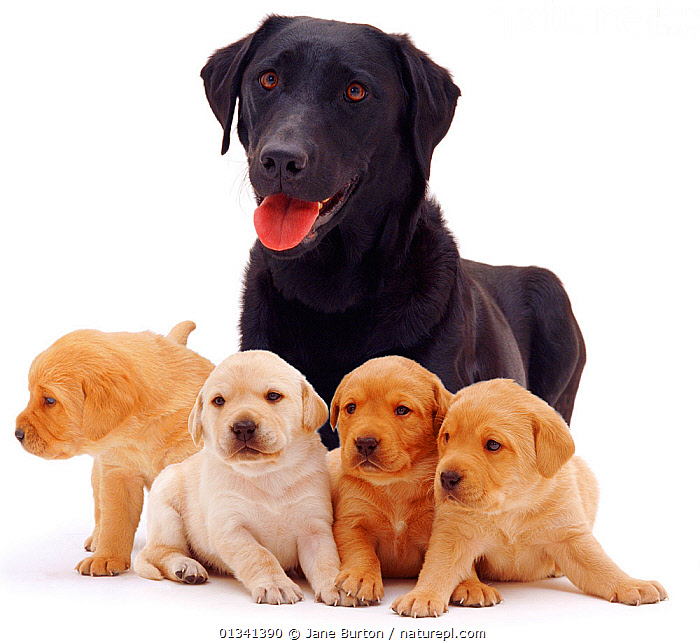 Black Labrador bitch, with her four yellow puppies, 3 weeks., BABIES,CANIDS,CUTE,CUTOUT,DOGS,FAMILIES,FEMALES,FIVE,GROUPS,GUNDOGS,LARGE DOGS,LOOKING AT CAMERA,MOTHER BABY,PETS,PORTRAITS,PUPPIES,PUPPY,STUDIO,VERTEBRATES,WHITE,YOUNG,,Cutout,White background,, Jane Burton