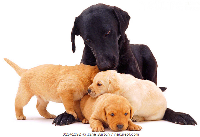 Black Labrador and three puppies, 3 weeks., AFFECTIONATE,BABIES,CANIDS,CUTE,CUTOUT,DOGS,FAMILIES,FEMALES,FOUR,GROUPS,GUNDOGS,KISSING,LARGE DOGS,MOTHER BABY,PETS,PLAY,PORTRAITS,PUPPIES,PUPPY,STUDIO,VERTEBRATES,WHITE,YOUNG,Communication,,Cutout,White background,, Jane Burton