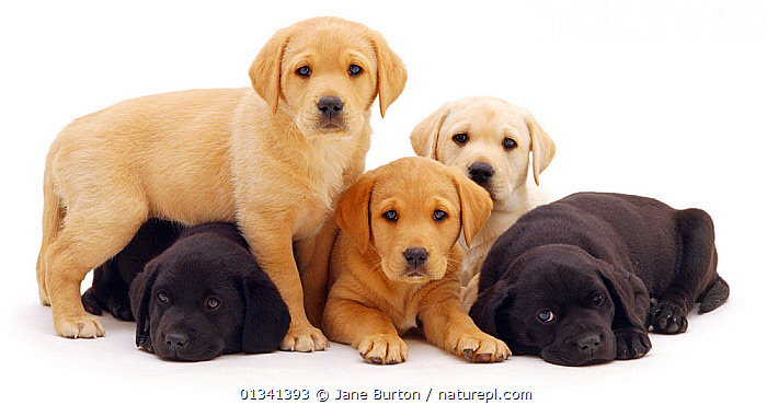 Three yellow and two black Labrador puppies, 6 weeks., BABIES,BLACK AND WHITE,CANIDS,CUTE,CUTOUT,DOGS,FAMILIES,FIVE,GROUPS,GUNDOGS,LARGE DOGS,PETS,PORTRAITS,PUPPIES,PUPPY,STUDIO,VERTEBRATES,WHITE,YOUNG,,Cutout,White background,, Jane Burton