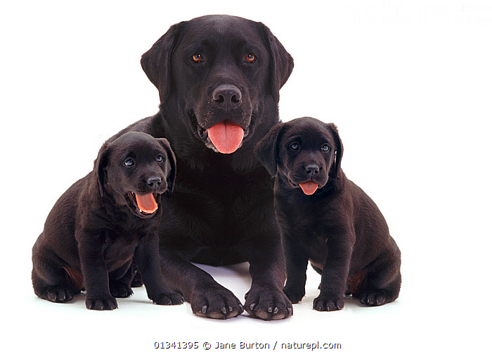 Black Labrador with two puppies., BABIES,BLACK,CANIDS,CUTE,CUTOUT,DOGS,FAMILIES,FRIENDS,GUNDOGS,LARGE DOGS,PETS,PORTRAITS,PUPPIES,PUPPY,SIBLINGS,SITTING,STUDIO,THREE,TONGUES,VERTEBRATES,WHITE,YOUNG,,Cutout,White background,, Jane Burton