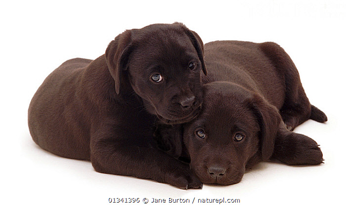 Two black Labrador puppies lying next to each other., BABIES,BLACK,CANIDS,CUTE,CUTOUT,DOGS,FRIENDS,GUNDOGS,LARGE DOGS,LYING,PETS,PORTRAITS,PUPPIES,PUPPY,SIBLINGS,STUDIO,TWO,VERTEBRATES,WHITE,YOUNG,,Cutout,White background,, Jane Burton