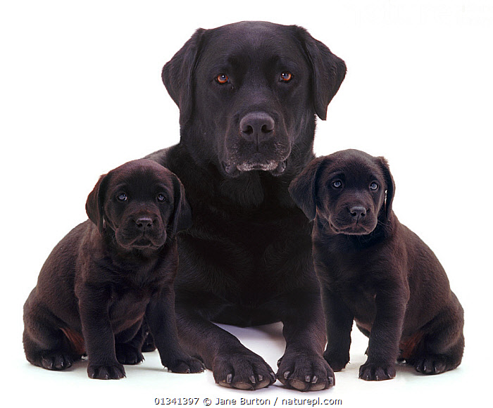 Black Labrador and two puppies., BABIES,BLACK,black labrador,CANIDS,catalogue4,CUTE,CUTOUT,DOGS,FAMILIES,female animal,FRIENDS,full length,gundogs,large dogs,looking at camera,mother babies,Nobody,PETS,PORTRAITS,puppies,puppy,serious,siblings,SITTING,Studio,studio shot,THREE,three animals,VERTEBRATES,WHITE,YOUNG,young animal,,Cutout,White background,, Jane Burton