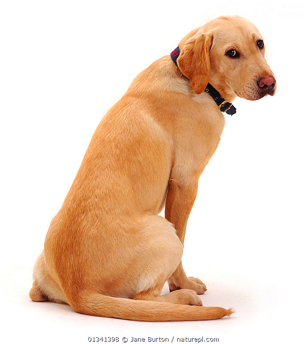 Yellow Labrador bitch, sitting, 1 year., CANIDS,CUTE,CUTOUT,DOGS,FEMALES,GUNDOGS,LARGE DOGS,PETS,PORTRAITS,REAR VIEW,SITTING,STUDIO,VERTEBRATES,VERTICAL,WHITE, Jane Burton