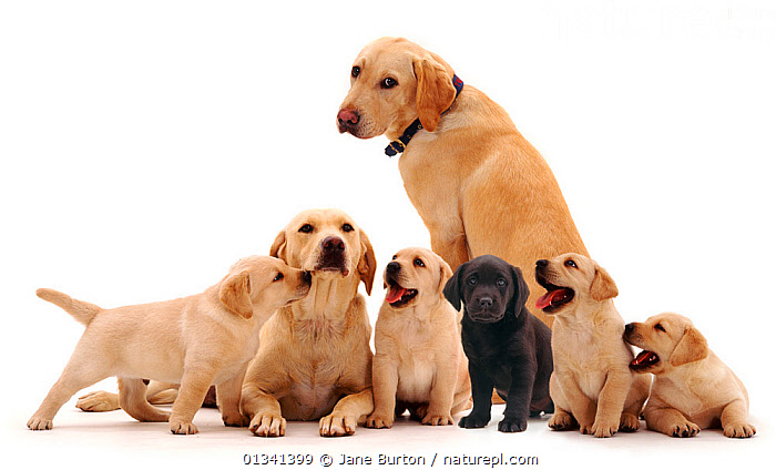 Two adult yellow Labradors with one black and four yellow puppies., BABIES,BLACK,CANIDS,CUTE,CUTOUT,DOGS,FAMILIES,FIVE,GROUPS,GUNDOGS,LARGE DOGS,MALE FEMALE PAIR,PETS,PORTRAITS,PUPPIES,PUPPY,SEVEN,STUDIO,VERTEBRATES,WHITE,YELLOW,YOUNG,,Cutout,White background,, Jane Burton
