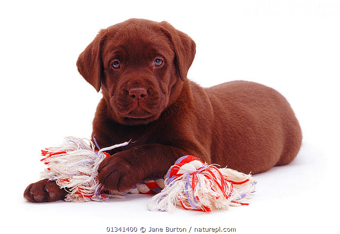 Chocolate Labrador puppy with ragger toy., BABIES,BROWN,CANIDS,CUTE,CUTOUT,DOGS,GUNDOGS,LARGE DOGS,LOOKING AT CAMERA,LYING,PETS,PLAY,PORTRAITS,PUPPIES,PUPPY,STUDIO,TOYS,VERTEBRATES,WHITE,YOUNG,Communication,,Cutout,White background,, Jane Burton