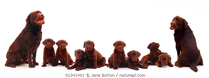 Chocolate Labrador family, two adults with eight puppies. Digital composite., BABIES,BROWN,CANIDS,CUTE,CUTOUT,DOGS,EIGHT,FAMILIES,GROUPS,GUNDOGS,LARGE DOGS,LARGE GROUPS,MALE FEMALE PAIR,PANORAMIC,PETS,PORTRAITS,PUPPIES,PUPPY,SITTING,SMILING,STUDIO,TEN,VERTEBRATES,WHITE,YOUNG,,Cutout,White background,, Jane Burton