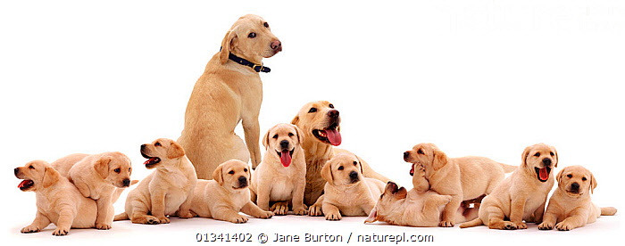 Yellow Labrador family, parents with ten puppies. Digital composite., BABIES,CANIDS,CUTE,CUTOUT,DOGS,FAMILIES,GROUPS,GUNDOGS,IMPLAUSIBLE,LARGE DOGS,MALE FEMALE PAIR,PETS,PORTRAITS,PUPPIES,PUPPY,SITTING,STUDIO,TEN,TWELVE,VERTEBRATES,WHITE,YOUNG,,Cutout,White background,, Jane Burton