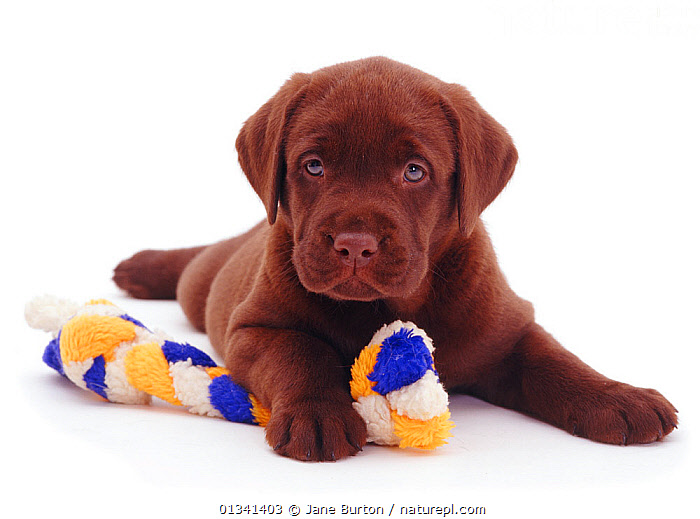 Chocolate Labrador puppy with ragger toy., BABIES,CANIDS,CUTE,CUTOUT,DOGS,GUNDOGS,LARGE DOGS,LOOKING AT CAMERA,LYING,PETS,PORTRAITS,PUPPIES,PUPPY,STUDIO,TOY,VERTEBRATES,WHITE,YOUNG,,Cutout,White background,, Jane Burton