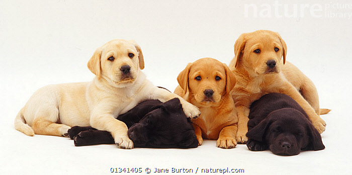 Three yellow and two black Labrador puppies, 6 weeks., BABIES,CANIDS,CUTE,CUTOUT,DOGS,FAMILIES,GROUPS,GUNDOGS,LARGE DOGS,LYING,PETS,PORTRAITS,PUPPIES,PUPPY,SLEEPING,STUDIO,VERTEBRATES,WHITE,YOUNG,,Cutout,White background,, Jane Burton