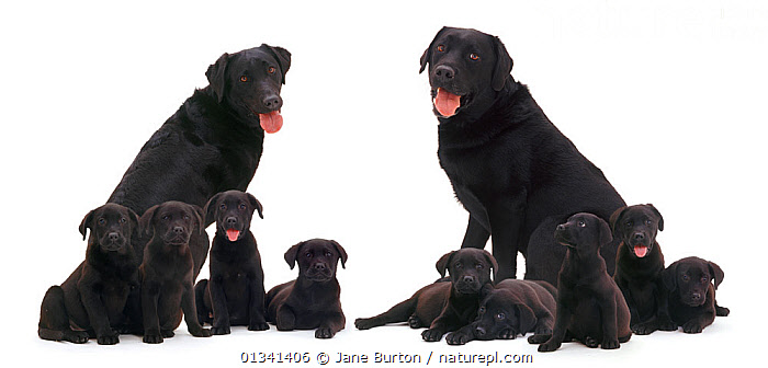 Black Labrador family, two adults with nine puppies. Digital composite., BABIES,BLACK,CANIDS,CUTE,CUTOUT,DOGS,ELEVEN,FAMILIES,GROUPS,GUNDOGS,LARGE DOGS,MALE FEMALE PAIR,MEDIUM GROUPS,PETS,PORTRAITS,PUPPIES,PUPPY,SITTING,STUDIO,VERTEBRATES,WHITE,YOUNG,,Cutout,White background,, Jane Burton