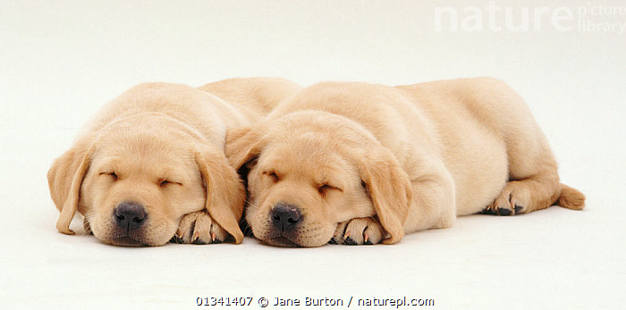 Two Yellow Labrador retriever puppies sleeping, 6 weeks., BABIES,BEHAVIOUR,CANIDS,CUTE,CUTOUT,DOGS,FRIENDS,GUNDOGS,LARGE DOGS,LYING,PETS,PORTRAITS,PUPPIES,PUPPY,SIBLINGS,SLEEPING,STUDIO,TWO,VERTEBRATES,WHITE,YOUNG,,Cutout,White background,, Jane Burton