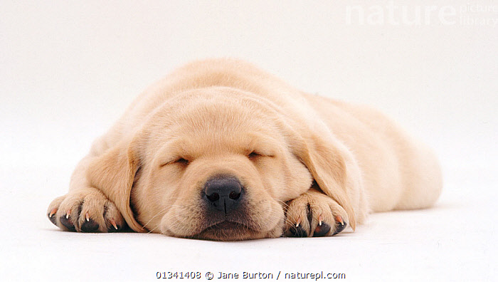 Yellow Labrador retriever puppy sleeping, 5 weeks., BABIES,CANIDS,CUTE,CUTOUT,DOGS,GUNDOGS,LARGE DOGS,LYING,NOSES,PETS,PORTRAITS,PUPPIES,PUPPY,SLEEPING,STUDIO,VERTEBRATES,WHITE,YOUNG,,Cutout,White background,, Jane Burton