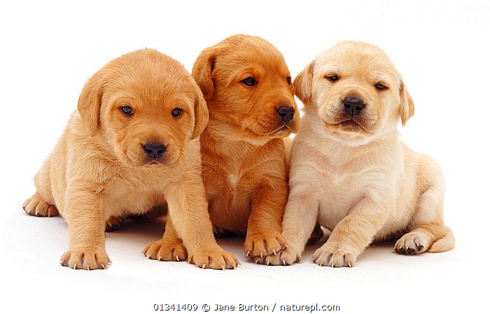 Three yellow Labrador puppies sitting together., BABIES,CANIDS,CUTE,CUTOUT,DOGS,FRIENDS,GUNDOGS,LARGE DOGS,LYING,PETS,PORTRAITS,PUPPIES,PUPPY,SIBLINGS,SITTING,STUDIO,THREE,VERTEBRATES,WHITE,YOUNG,,Cutout,White background,, Jane Burton