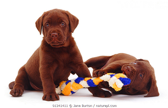 Two chocolate Labrador retriever puppies, one playing with rope toy, 6 weeks., BABIES,BEHAVIOUR,BROWN,CANIDS,CUTE,CUTOUT,DOGS,FRIENDS,GUNDOGS,LARGE DOGS,PETS,PLAY,PORTRAITS,PUPPIES,PUPPY,SIBLINGS,STUDIO,TOYS,TWO,VERTEBRATES,WHITE,YOUNG,Communication,,Cutout,White background,, Jane Burton