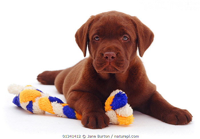 Chocolate Labrador retriever puppy with rope toy, 6 weeks., BABIES,BROWN,CANIDS,CUTE,CUTOUT,DOGS,GUNDOGS,LARGE DOGS,LOOKING AT CAMERA,PETS,PORTRAITS,PUPPIES,PUPPY,STUDIO,TOYS,VERTEBRATES,WHITE,YOUNG,,Cutout,White background,, Jane Burton